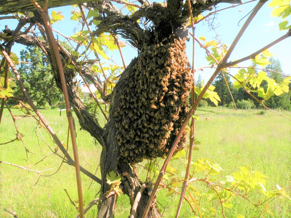 swarm of bees clustered around a tree