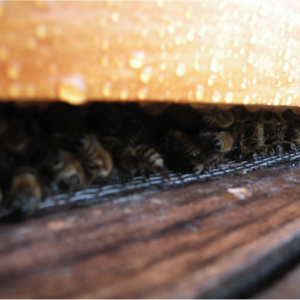 Worker bees keeping the hive warm on a cold day