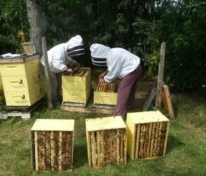 Pulling honey off of beehives in the Fall.