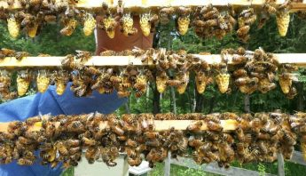Building Resiliency in Honey Bees: ABC Bees Interviews Susan Corbey, Researcher and Bee Breeder in USA
