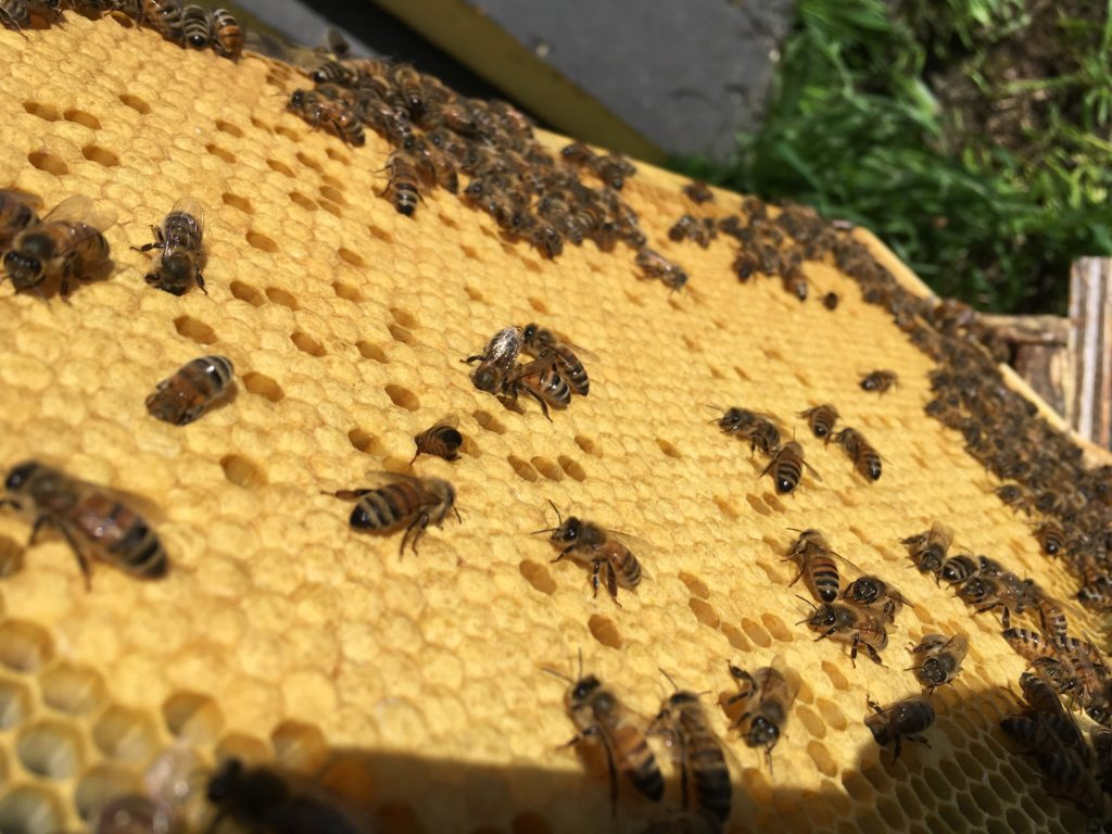 Image of a frame covered in brood and clusters of bees surrounding the frame