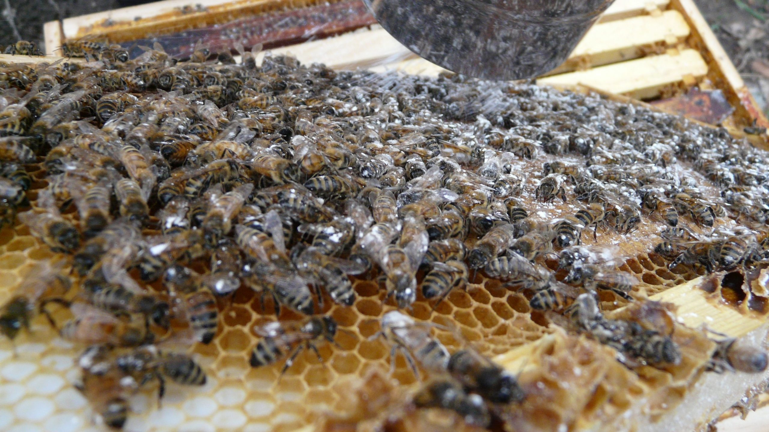 Image of honeybees on a frame, covered in powdered sugar used to check the mite load of a beehive during a spring hive inspection