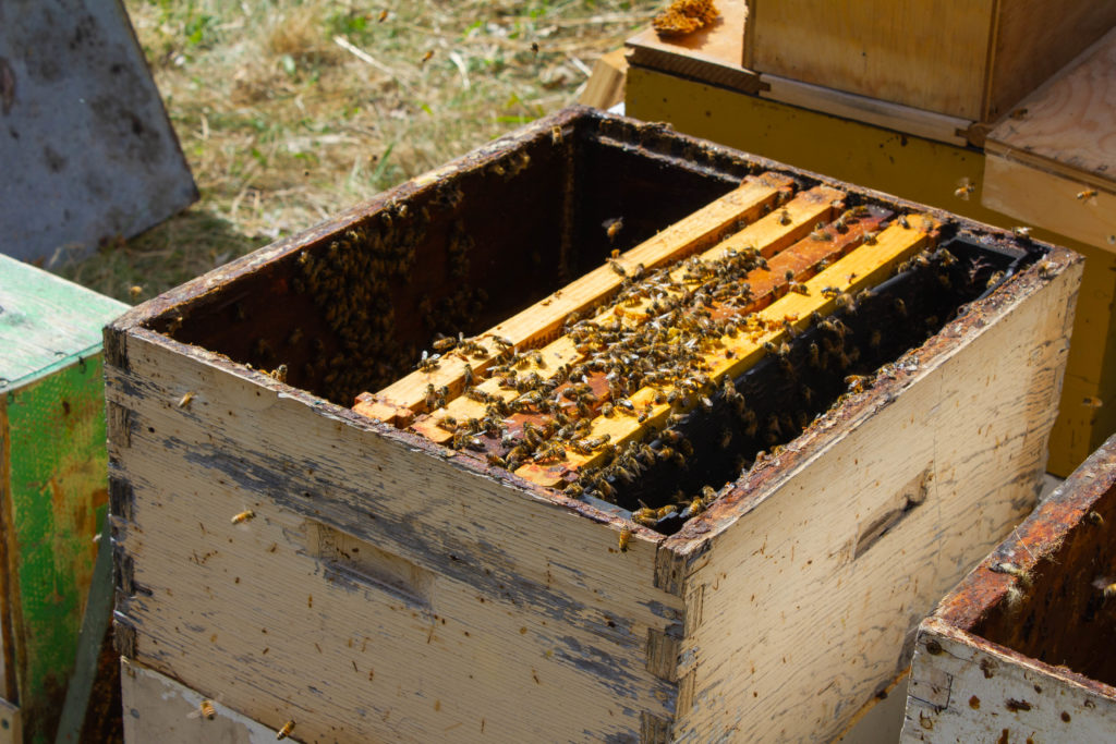 A parent hive with frames of open brood already pulled out.